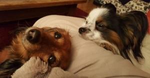 Knähundarna Sessan och Hugo.
