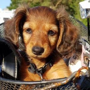 Lillie i cykelkorgen.Hur sööööt får man vara!