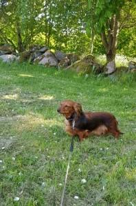 Hundar ska rastas utanför campingen, så här är Lillie och matte väntar och väntar...