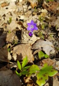 En fin liten blåsippa tittade fram bland löven.